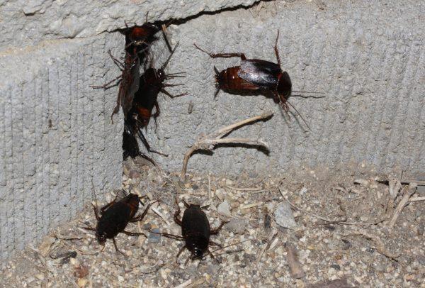 Скопление чёрных тараканов