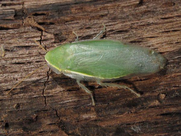 Зелёный банановый таракан