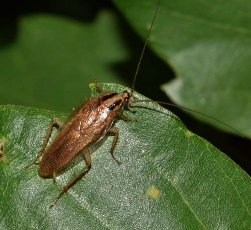 Умеют ли летать тараканы — подробный разбор