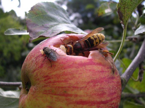 Шершень в яблоке