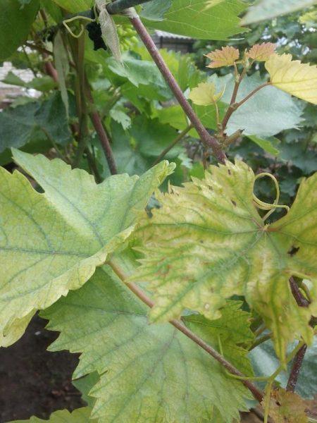 Виноград пожелтел от хлора