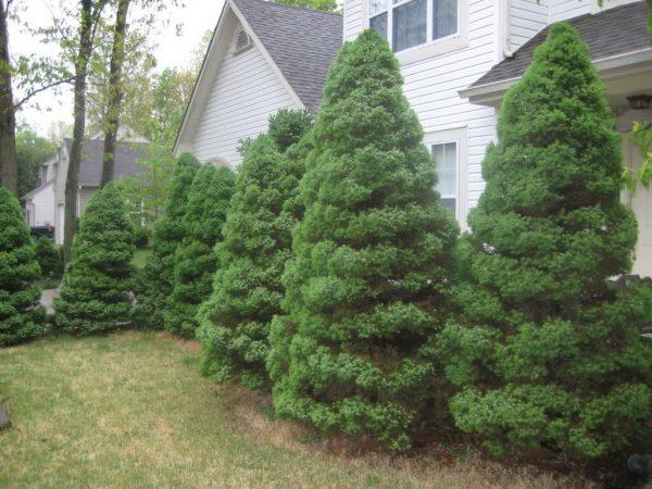Хвойные деревья рядом с домом