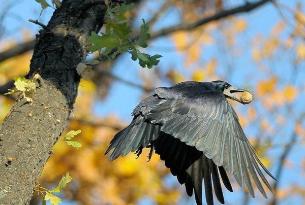 Ворона с орехом