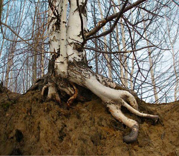 Сильные корни берёзы при разрастании могути существенно повредить фундамент дома