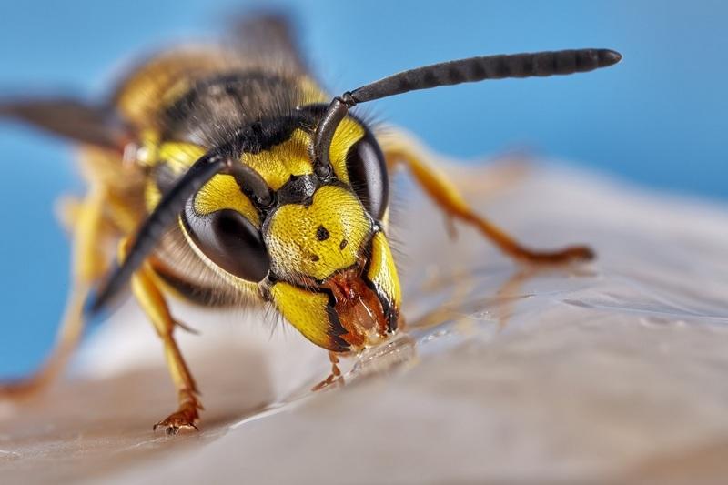 Как лечить и отличить укусы жалящих насекомых: шмеля, осы, шершня и пчелы