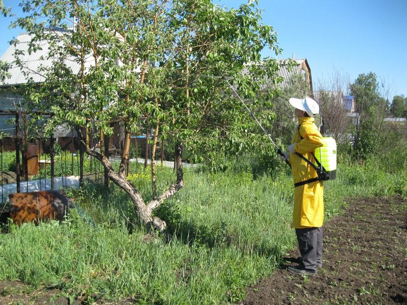 Когда опрыскивать яблони: сроки весенних и осенних обработок