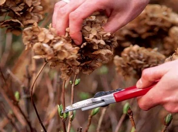 Готовим к зимегортензиивсех видов: труды будут вознаграждены - Интерьер