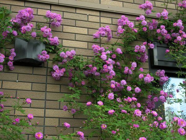 Мелкоцветковая плетистая роза