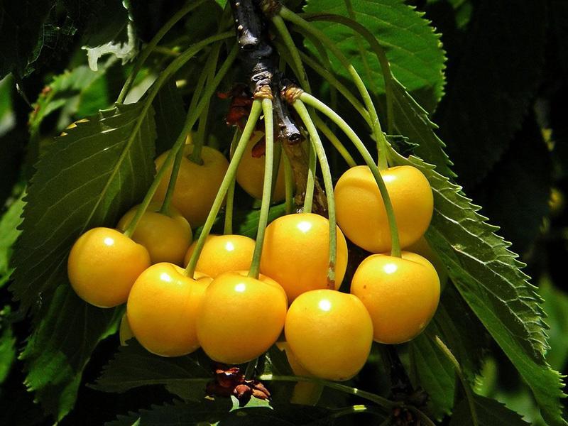 Черешня Россошанская: разновидности сорта и нюансы выращивания
