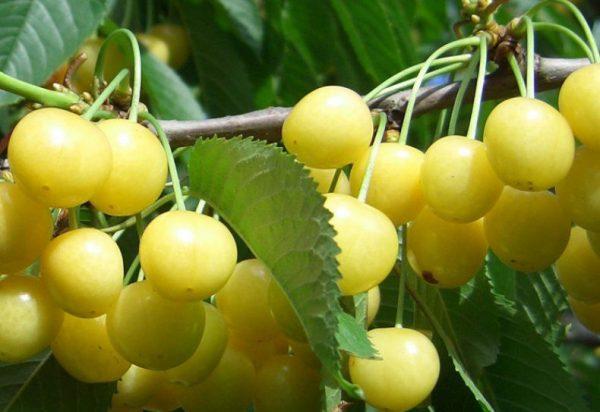 Ягоды черешни Россошанская золотая
