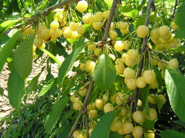Урожая черешни Россошанская золотая