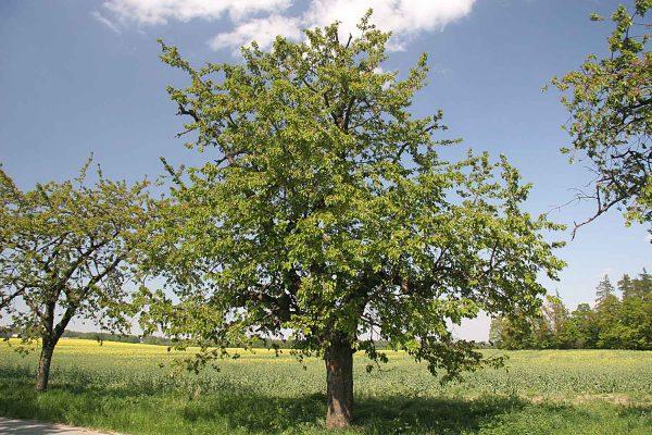 Черешневое дерево