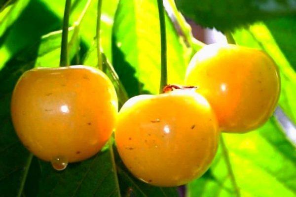 Черешня Россошанская золотая на солнце