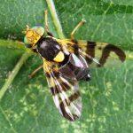 Вишнёвая муха