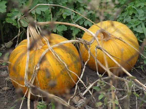 Спелые тыквы