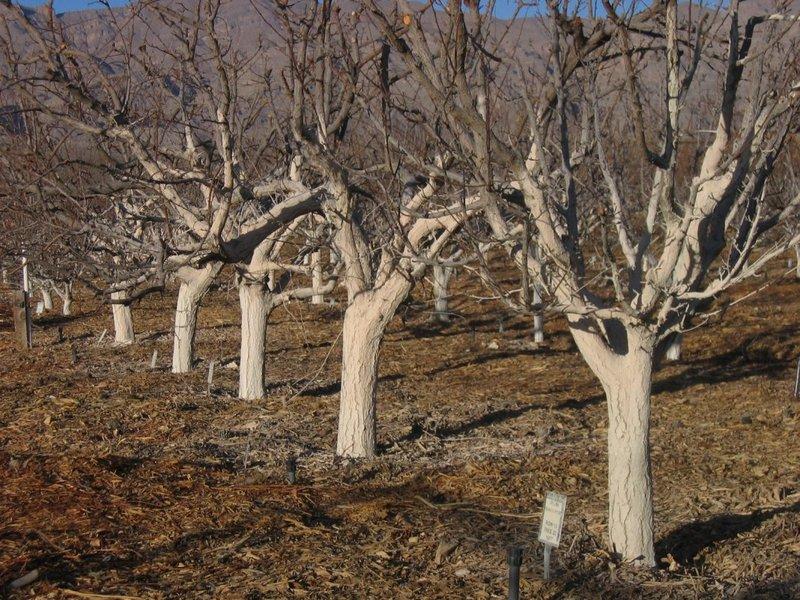 Осенняя побелка садовых деревьев