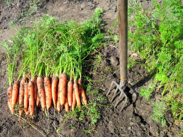 Копка моркови