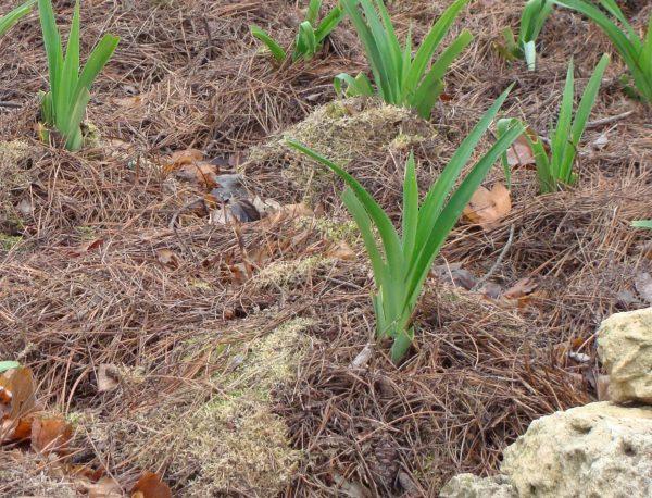 Мульчирование посаженных лилейников