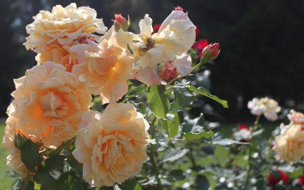Цветущий куст роз