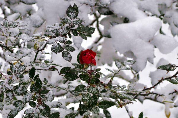 Куст роз под снегом
