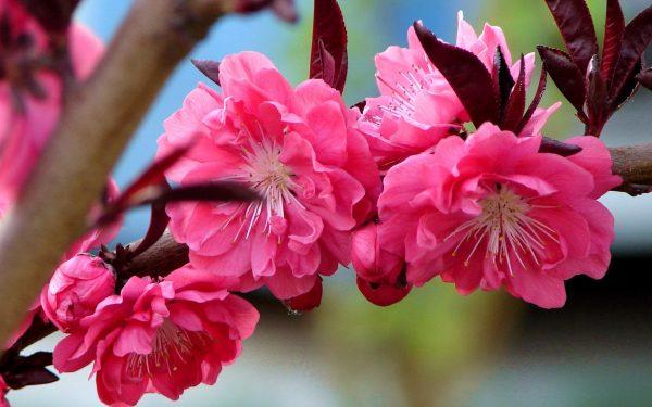 Цветущее персиковое дерево