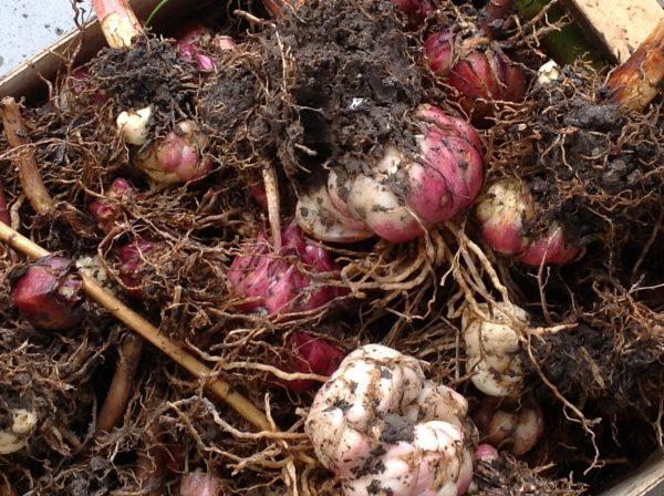 Луковицы лилий после копки