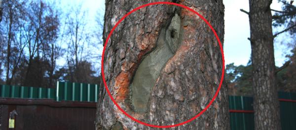 Запломбированное дупло на стволе дерева