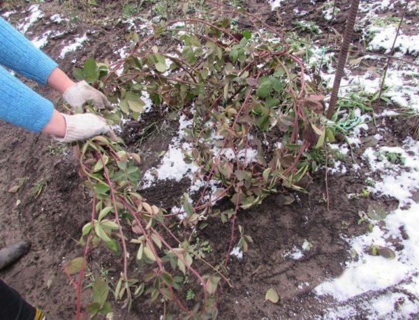 Этапы подготовки ежевики к зиме, особенности укрытия разных видов