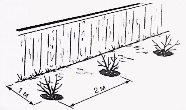 Схема посадки крыжовника осенью и не только