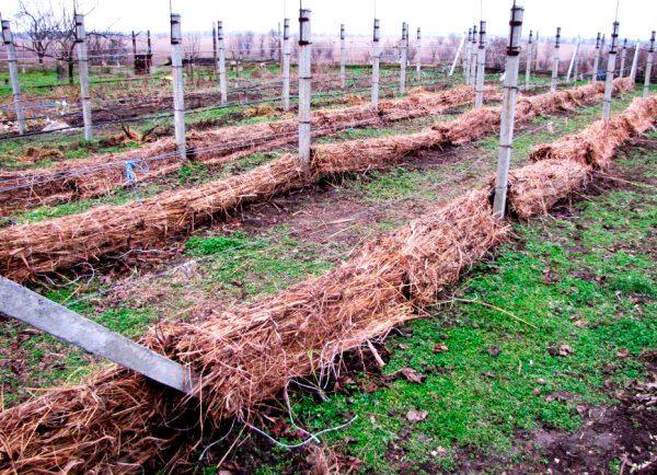 Укрытие винограда сухой травой