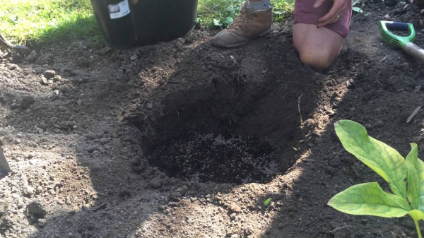 Посадочная яма для пересадки гортензии осенью на другое место