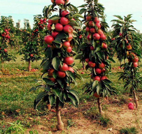 Яблони-колонны