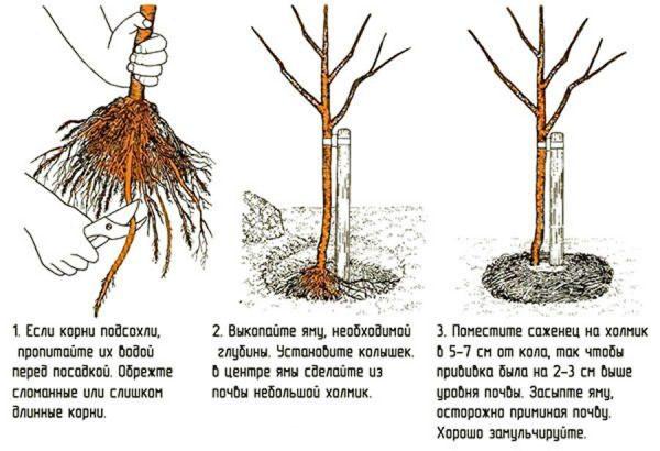 Посадка яблони-колонны