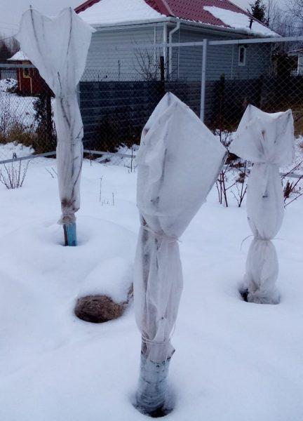 Укрытие колонновидных яблонь на зиму