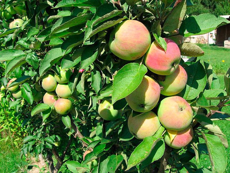 Колонновидные яблони от А до Я: как выбрать, посадить и вырастить