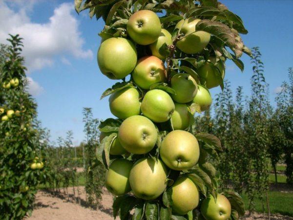 Сорт колонновидной яблони Президент