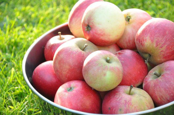 Плоды колонновидной яблони Конференция