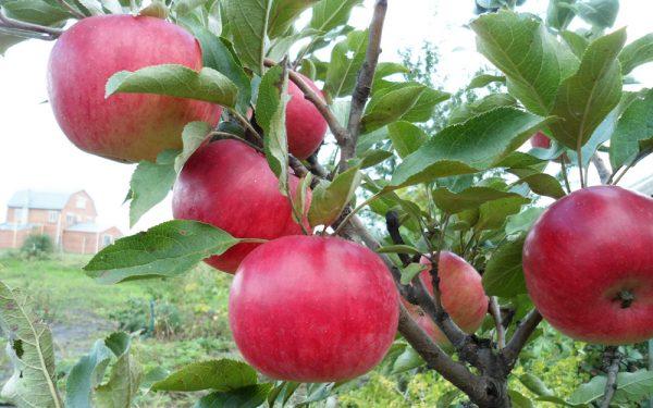 Сорт колонновидной яблони Васюган
