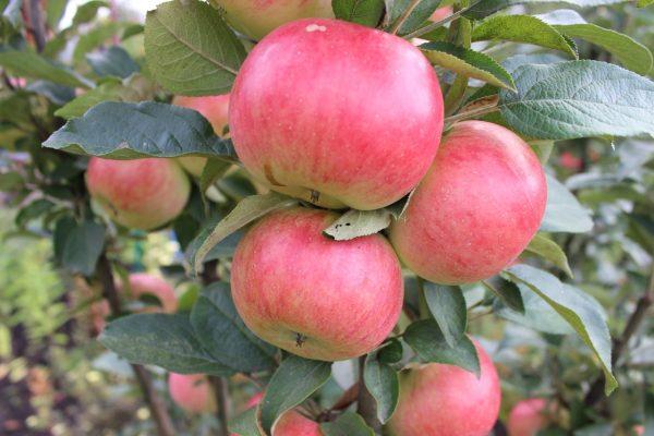 Яблоки сорта Валюта