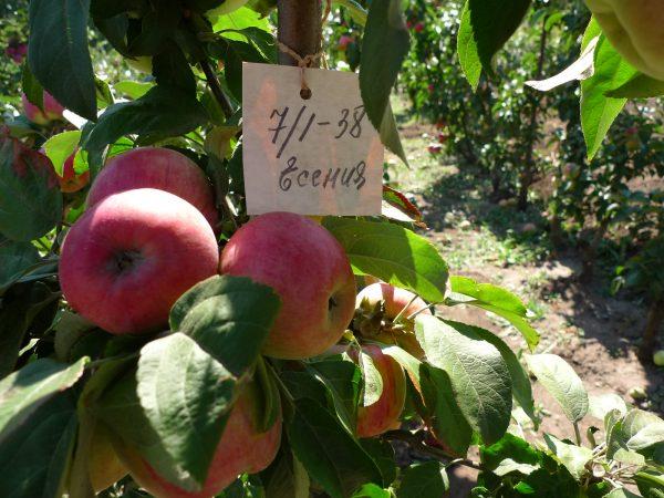 Сорт колонновидной яблони Есения