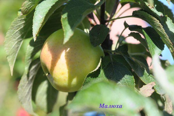Яблоко сорта Малюха