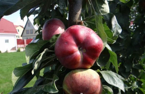 Сорт колонновидной яблони Останкино