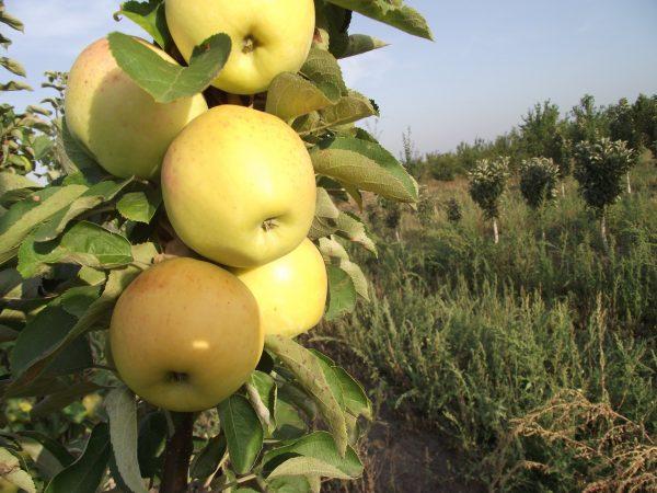 Сладкий сорт колонновидной яблони Викич