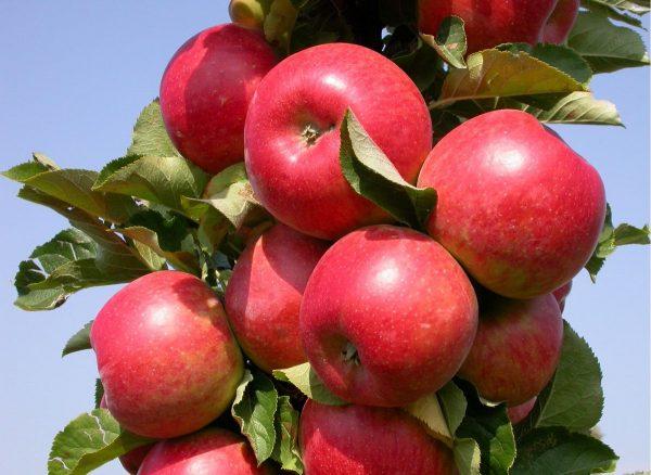Яблоки сорта Джин