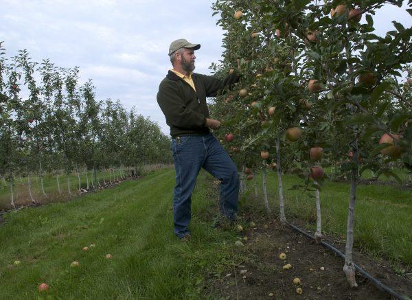 Сбор урожая в саду с колонновидными яблонями