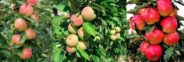 Колонновидные яблони разных сортов