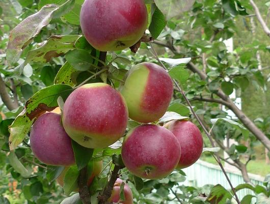 Сорт колонновидной яблони Московское ожерелье