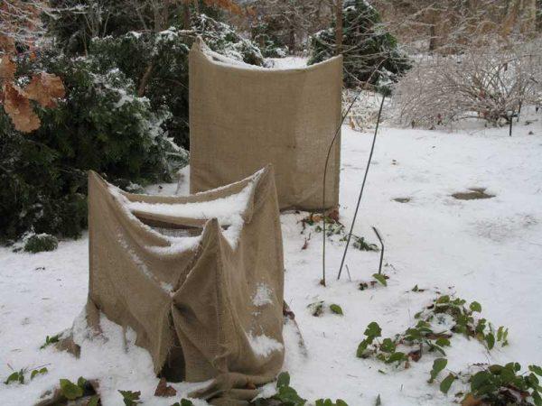 Кусты ежевики зимой