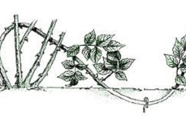 Отводок розы