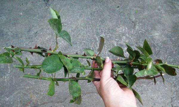 Черенки розы для размножения
